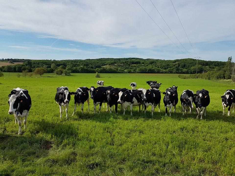 Vaches producteurs cocipro
