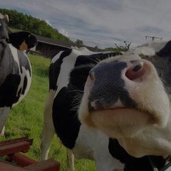 vache domaine laitier de barsa cocipro
